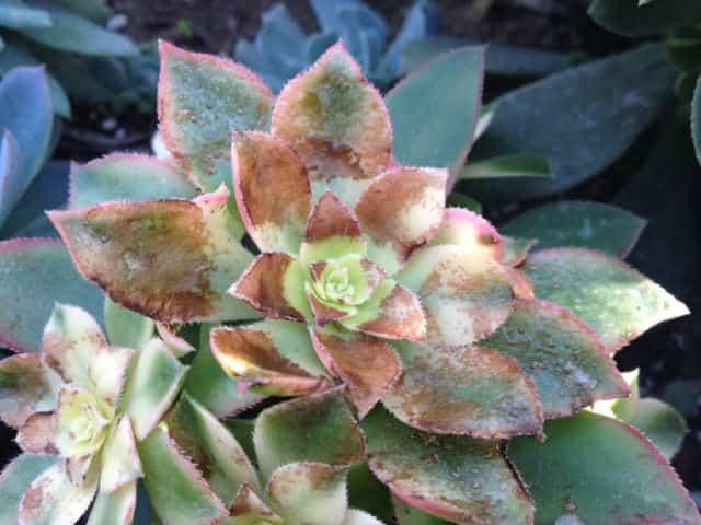 succulent sunburn