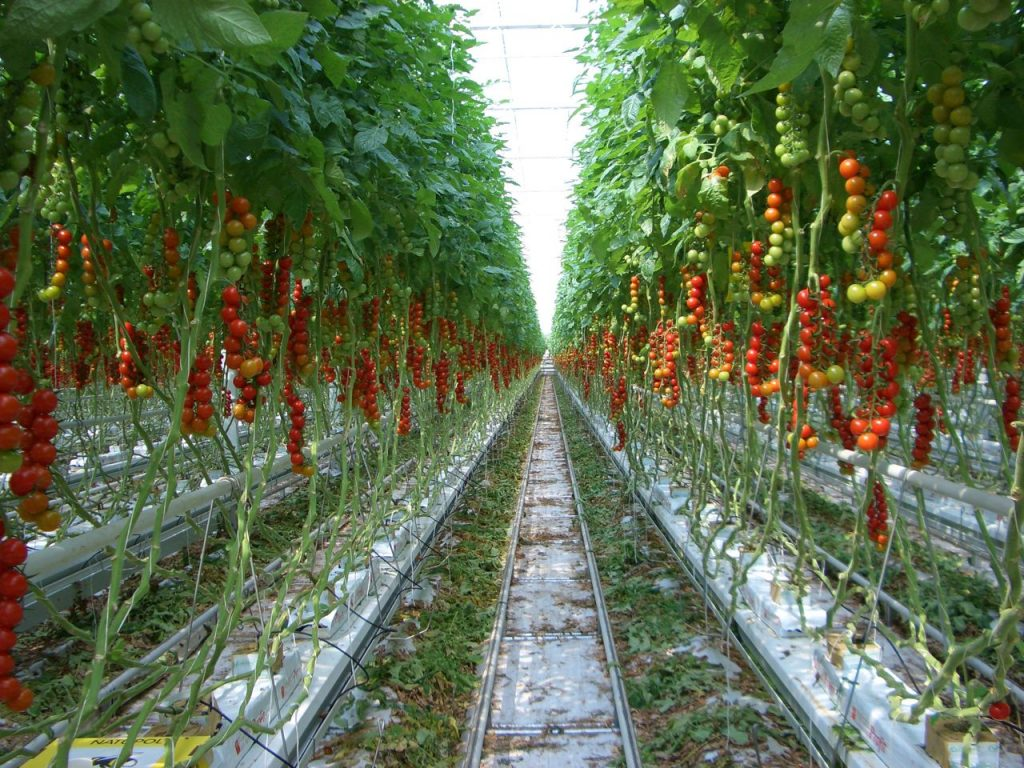 Tomatoes Grown Hydrfoponically
