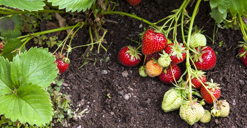 soil strawberry