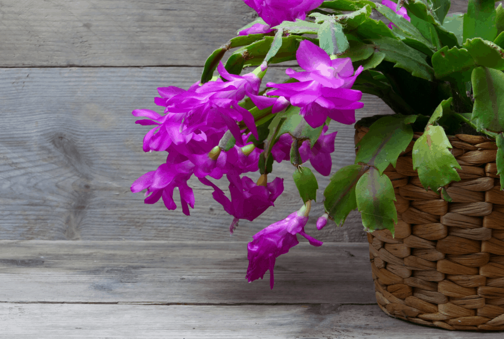 Christmas Cactus Troubleshooting